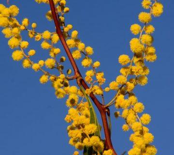 Le miel d'acacia bio : un nectar 100 % naturel!